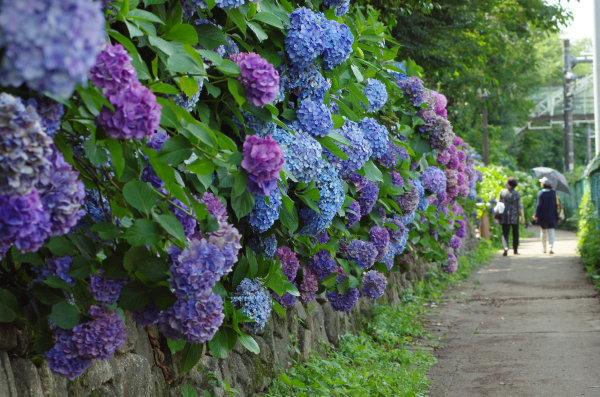 飛鳥の小道の紫陽花