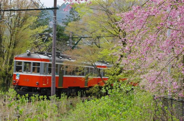箱根登山鉄道 桜