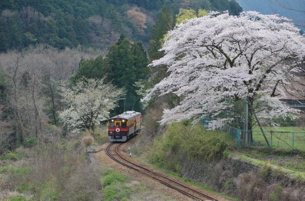 わたらせ渓谷鉄道 桜
