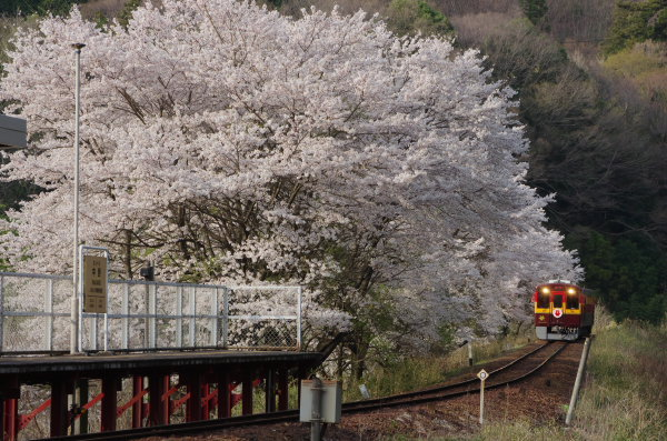 わたらせ渓谷鉄道 中野駅 桜