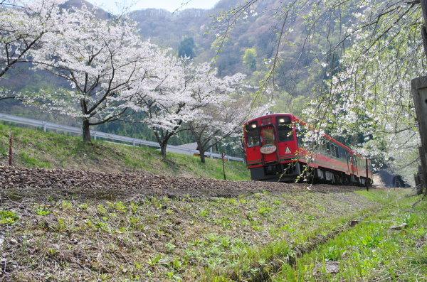会津鉄道大川ダム公園駅の桜