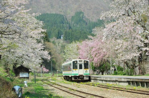 湯野上温泉駅の桜