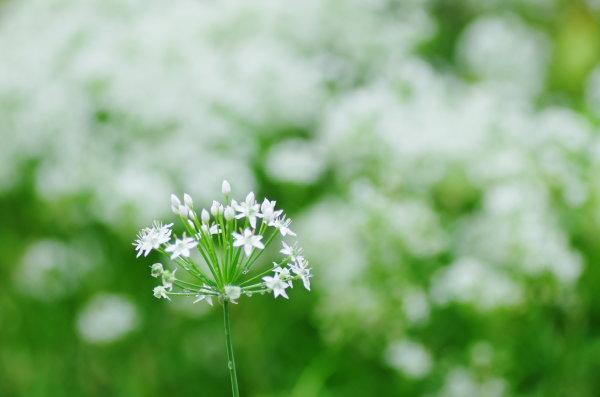 星への願い ニラの花