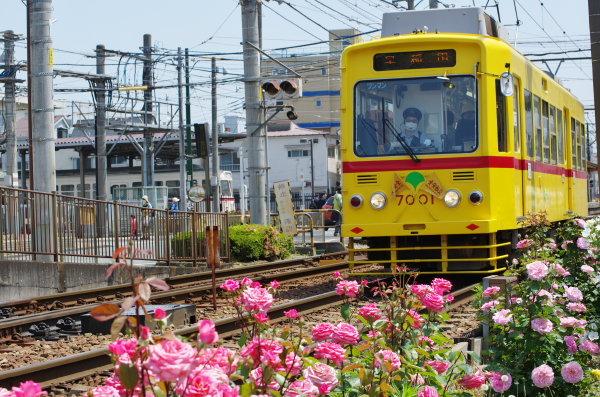 春バラと都電7001号