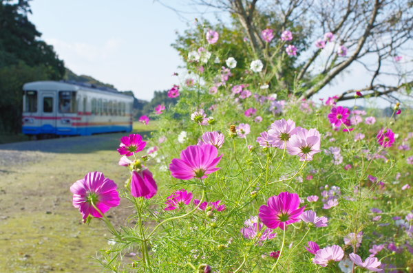 コスモス〜ひたちなか海浜鉄道