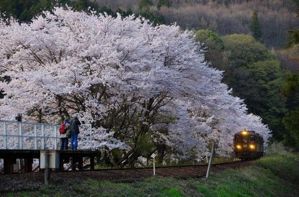 桜〜わたらせ渓谷鉄道