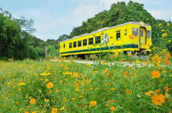 キバナコスモスと黄色い列車〜いすみ鉄道
