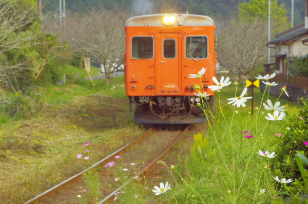 キハ52とコスモス〜いすみ鉄道