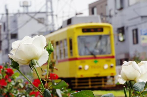 秋バラ〜都電荒川線