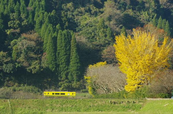 黄葉のイチョウと黄色い列車〜いすみ鉄道