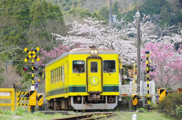 桜〜いすみ鉄道