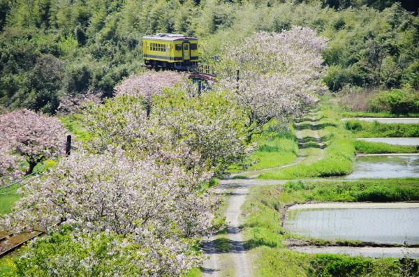 八重桜〜いすみ鉄道