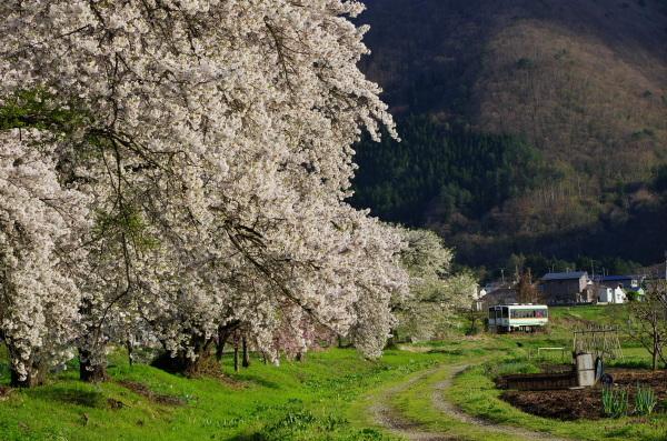 会津鉄道に乗って桜見物