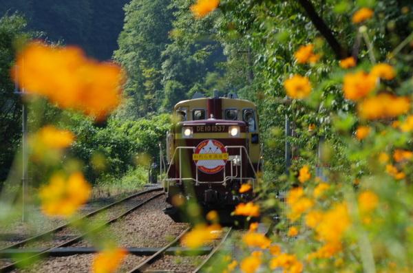 キバナコスモス〜わたらせ渓谷鉄道