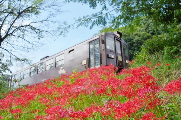 彼岸花〜わたらせ渓谷鉄道
