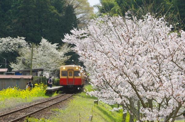 飯給の桜〜小湊鉄道
