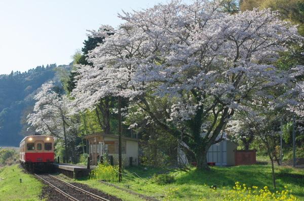桜の季節〜小湊鉄道