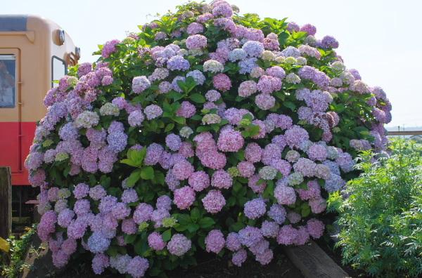 紫陽花〜小湊鉄道