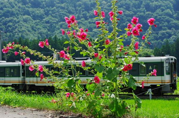 タチアオイ〜会津鉄道