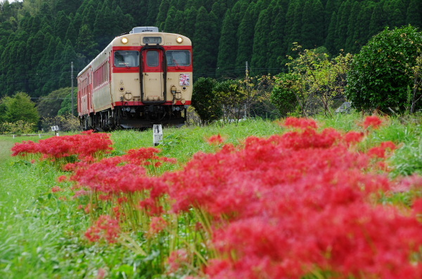 彼岸花〜いすみ鉄道