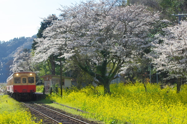 上総大久保駅〜桜
