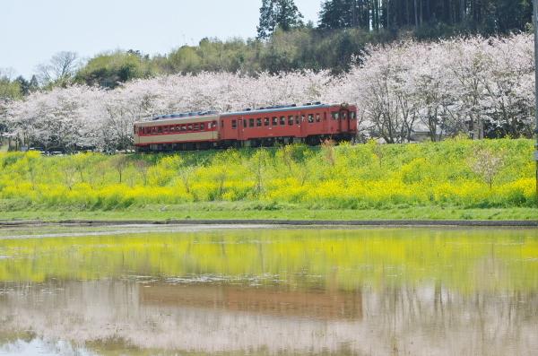 いすみ鉄道・桜〜新田野