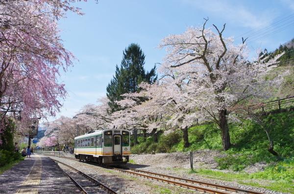 会津鉄道・桜