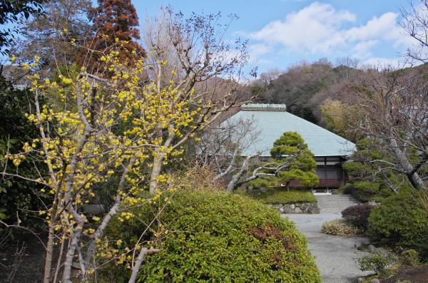 浄妙寺の蝋梅