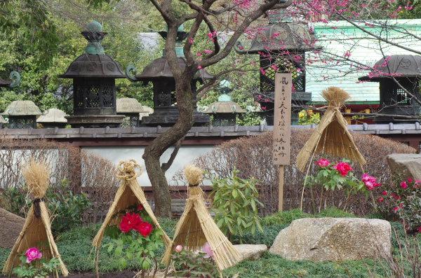 上野東照宮冬ぼたん