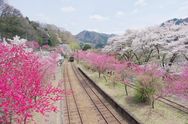 わたらせ渓谷鉄道 花桃まつり