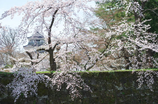 桜満開の鶴ヶ城
