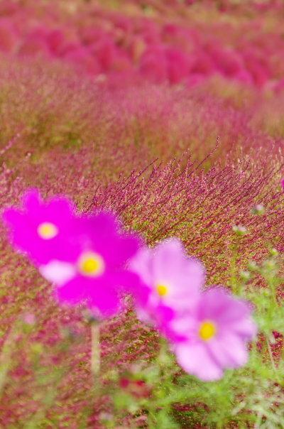 紅葉のコキア〜国営ひたち海浜公園